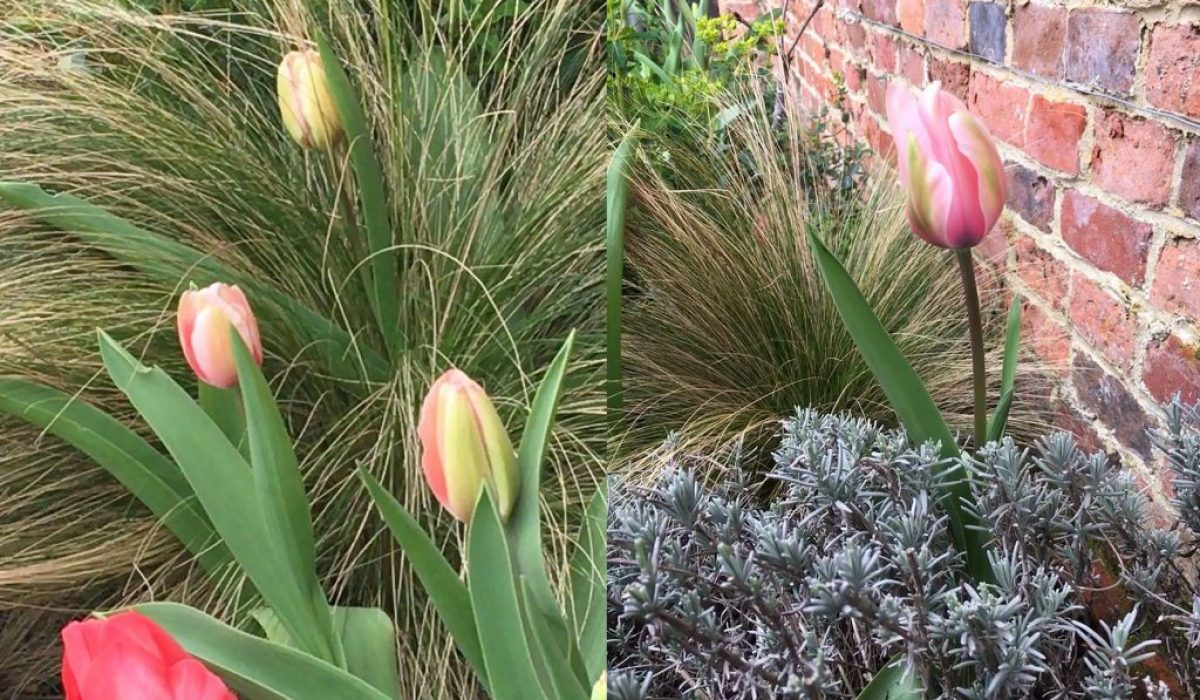 tulips_stipa_border